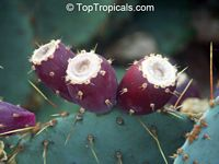 Opuntia phaeacantha, Opuntia engelmanii, Prickly Pear  Click to see full-size image