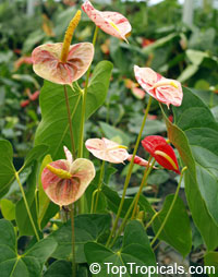 Anthurium hybrid Shibori, Flamingo Flower, Variegated Flower Anthurium