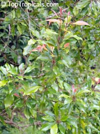 Syzygium aromaticum, Caryophyllus aromaticus, Eugenia caryophyllata, Eugenia caryophyllus, Clove, Cloves  Click to see full-size image