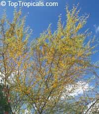 Vachellia farnesiana, Acacia farnesiana, Mimosa farnesiana, Yellow Mimosa, Sweet Wattle  Click to see full-size image