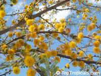 Acacia farnesiana, Mimosa farnesiana, Yellow Mimosa, Sweet WattleClick to see full-size image