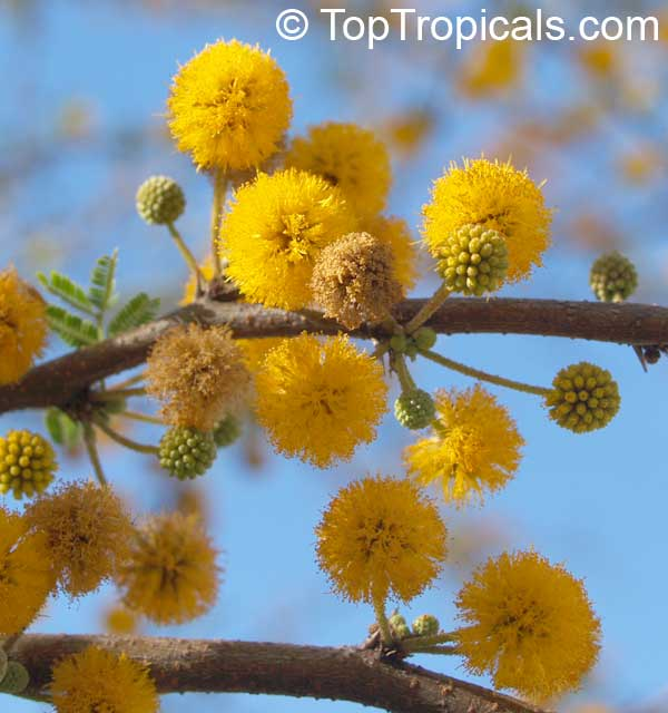 Mimosa farnesiana - Yellow Mimosa, Sweet Wattle. This is a bushy shrub that