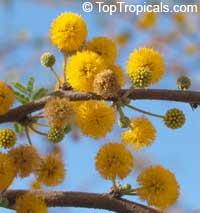 Acacia farnesiana - Sweet Mimosa  Click to see full-size image