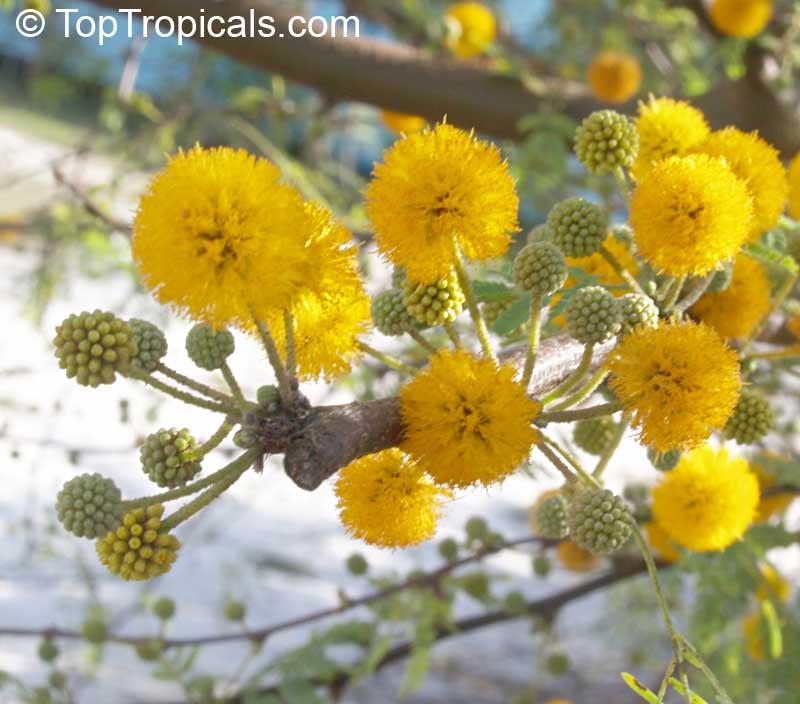 Tropical plant catalog toptropicals vachellia farnesiana acacia farnesiana mimosa farnesiana yellow mimosa sweet wattle click to mightylinksfo