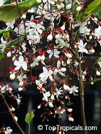 Clerodendrum schmidtii, Chains of Glory, Lightbulb Flower  Click to see full-size image