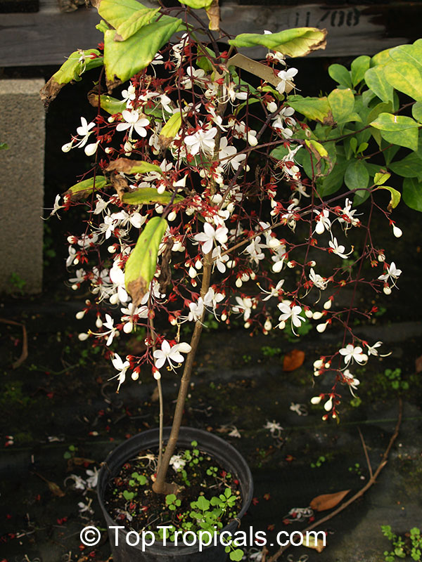 Clerodendrum Schmidtii Chains Of Glory Toptropicals Com