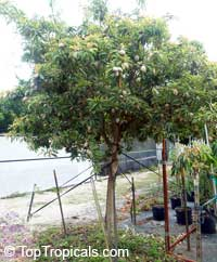 Achras zapota (Sapodilla) Silas Woods - seeds  Click to see full-size image