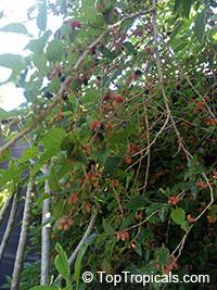 Morus peruviana - Mulberry, Peruvian   Click to see full-size image