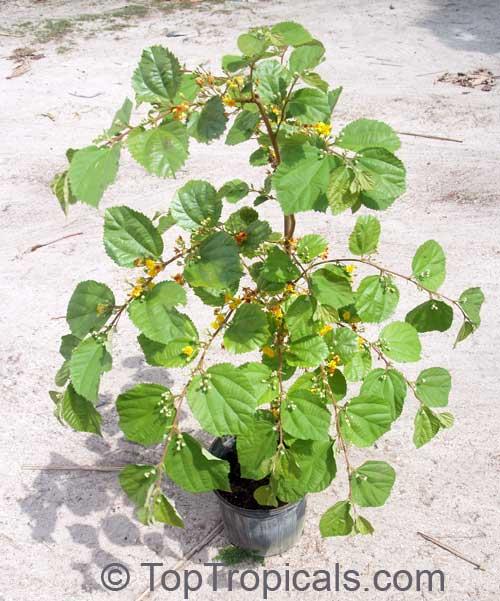 Grewia Asiatica Grewia Subinaequalis Phalsa Falsa