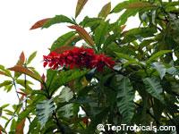 Warscewiczia ( Warszewiczia ) coccinea, Wild Poinsettia, Chaconia, Pride of Trinidad  Click to see full-size image