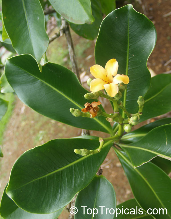 Fagraea Berteriana Perfume Flower Tree Pua Keni Keni