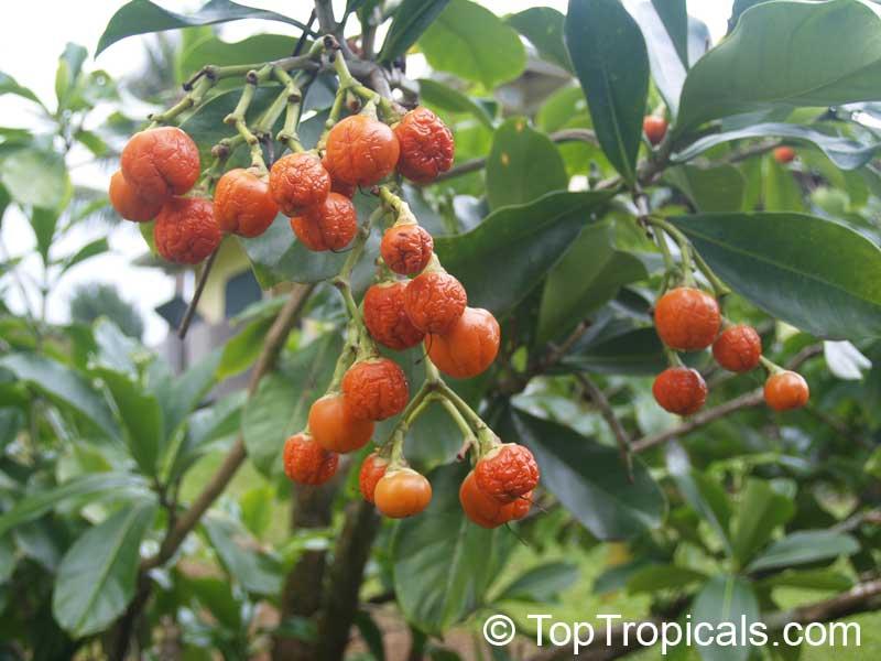 Raea Berteriana Perfume Flower Tree Pua Keni Click To See Full Size