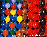 Aleurites moluccana, Aleurites triloba, Croton moluccanus, Candlenut oil tree, Candleberry, Varnish tree, Indian or Belgaum Walnut, Kemiri, Kukui nut treeClick to see full-size image