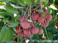 Litchi chinensis - Groff lychee, Air-layered