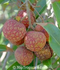 Litchi chinensis - No Mai Tun lychee, Air-layeredClick to see full-size image