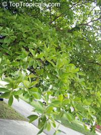 Bucida buceras, Terminalia buceras, Florida Black Olive Tree, Oxhorn Bucida, Gregory Wood  Click to see full-size image