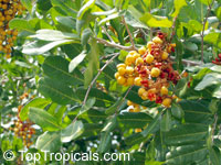 Cupaniopsis anacardioides, Carrotwood  Click to see full-size image