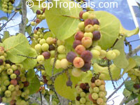 Coccoloba uvifera, Sea grape