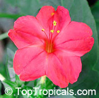 Mirabilis jalapa Red - seeds  Click to see full-size image