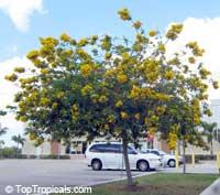 Senna surattensis (Cassia glauca) - Scrambled Egg Bush  Click to see full-size image