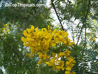 Senna multijuga, Cassia multijuga, False Sicklepod  Click to see full-size image