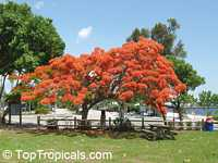 Delonix regia - Royal poinciana, Flamboyant  Click to see full-size image