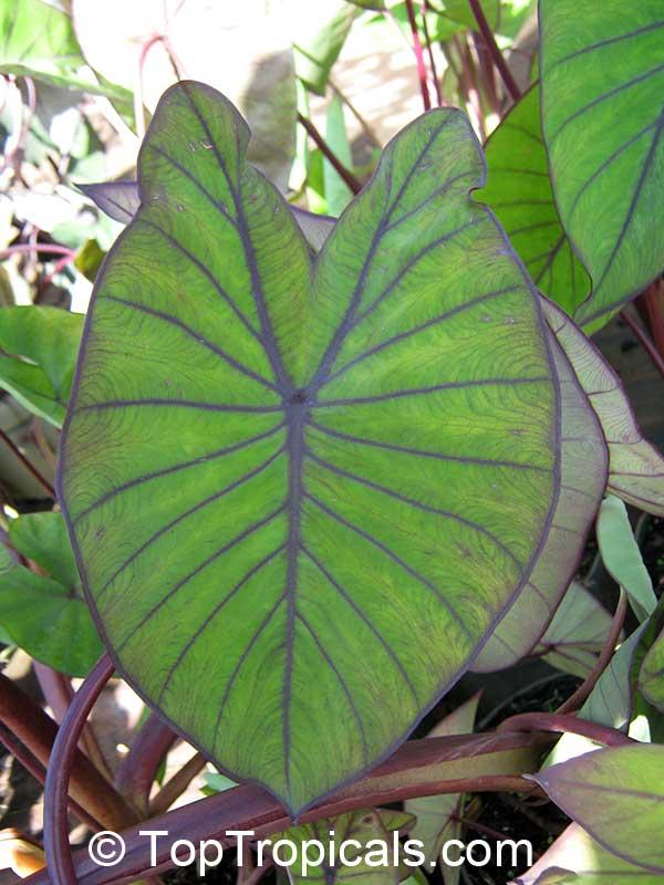 Colocasia Esculenta Black Colocasia Black Magic Taro Black