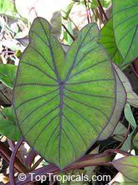Colocasia esculenta , Black colocasia, Black Magic, Taro, Black Elephant Ear, Malanga Amarillo, Dasheen
