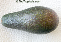 Persea americana - Avocado Red Russel, Grafted  Click to see full-size image