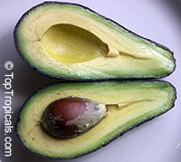 Persea americana - Avocado Day, Grafted  Click to see full-size image