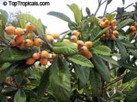 Eriobotrya japonica - Loquat Sherry, grafted