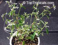 Euphorbia hypericifolia Inneuphdia, Diamond Frost, Stardust White SparkleClick to see full-size image