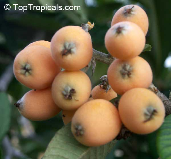 Eriobotrya Onica Loquat Anese Plum Nispero Click To See Full Size Image
