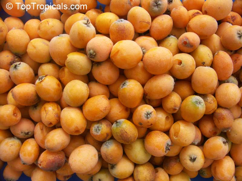 Eriobotrya Onica Loquat Bradenton Grafted Click To See Full Size Image