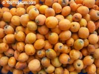 Eriobotrya japonica - Loquat Bradenton, grafted