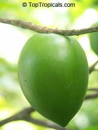 Pouteria caimito, Abiu, Abu, Caimito  Click to see full-size image