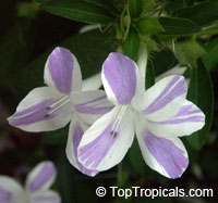 Barleria cristata Lavender Lace, Striped Philippine violet, Crested philippine violet  Click to see full-size image