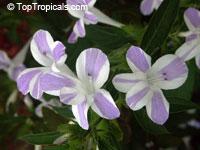 Barleria cristata Lavender Lace, Striped Philippine violet, Crested philippine violetClick to see full-size image