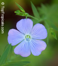 Linum usitatissimum, Flax, Linseed  Click to see full-size image