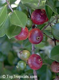 Psidium littorale - Cattley guava Red, 3 gal