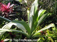 Crinum asiaticum, Swamp lily, River lily, Spider lily