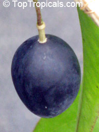 Passiflora suberosa - seeds  Click to see full-size image
