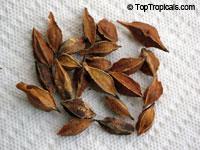 Halesia carolina, Carolina Silverbell, Snowdrop Tree  Click to see full-size image