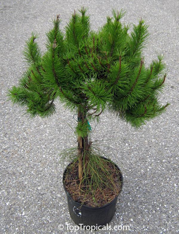pinus clausa, dwarf sand pine, sams hoola sand pine  toptropicals, Natural flower