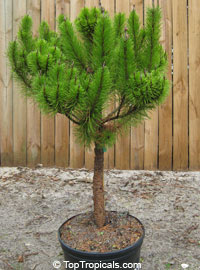 Pinus clausa, Dwarf Sand Pine, Sams Hoola Sand Pine  Click to see full-size image