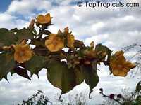 Abutilon chiappardi, Abutilon chittendenii, Abutilon chitenendii, Bakeridesia integerrima, Sida integerrima, Velvetleaf, Canary Tree, Indian MallowClick to see full-size image