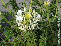Cleome hassleriana, Cleome spinosa, Spider Flower, Crown FlowerClick to see full-size image
