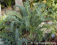 Encephalartos horridus, Eastern Cape Blue Cycad  Click to see full-size image