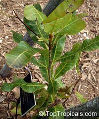 Anacardium giganteum, Caja Acu, Caja AsuClick to see full-size image