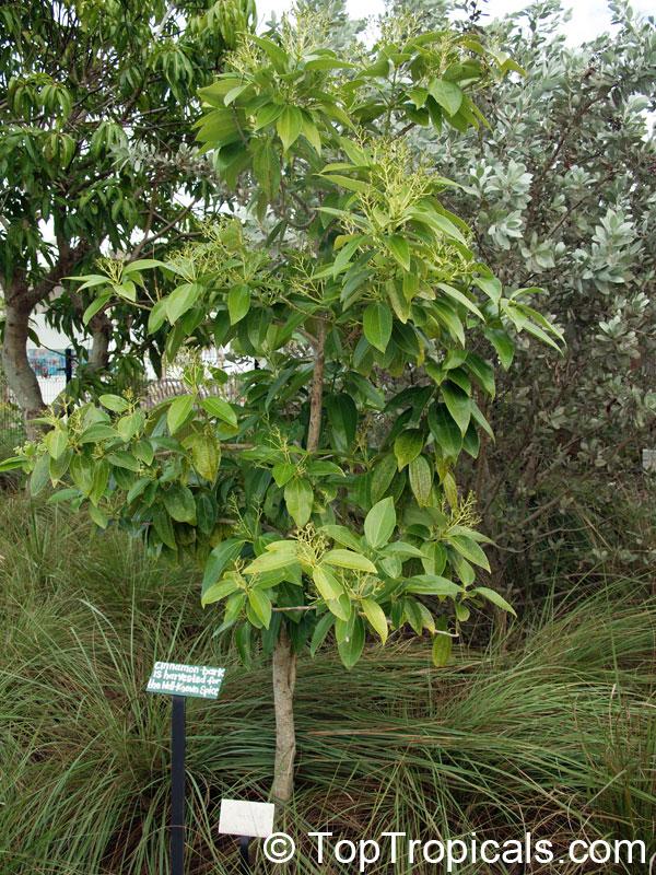Cinnamomum Zeylanicum Cinnamomum Verum Cinnamon